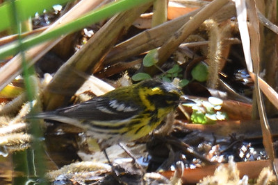 Townsend's Warbler taking a bath  - 2/11/2018 - Poway Creek