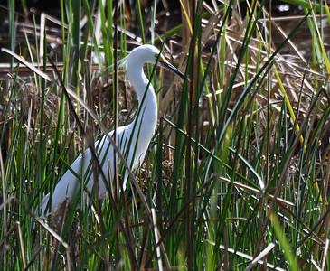 Snowy Egret  - 2/11/2018 - Poway Creek