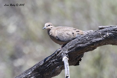 Mourning Dove  - 05/05/2018 - Sabre Springs Creek Trail