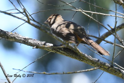 California Towhee  - 05/05/2018 - Sabre Springs Creek Trail
