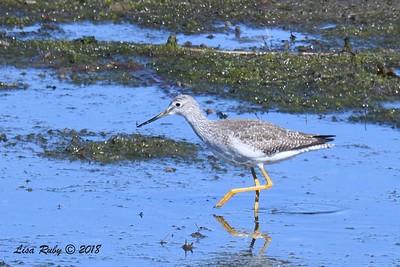 Greater Yellowlegs - 1/28/2018 - San Diego River tidal mudflats, Robb Field