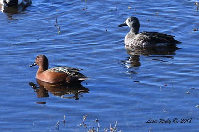 Cinnamon and Blue-winged Teals  - 1/28/2018 - San Diego River estuary