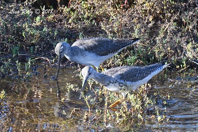 Greater Yellowlegs  - 1/28/2018 - San Diego River estuary