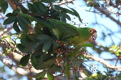 Red-masked Parakeet - 1/28/2018 - Famosa Slough