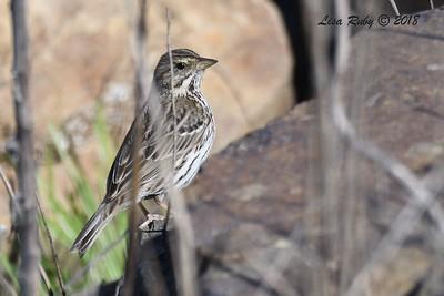 Savannah Sparrow - 1/28/2018 - San Diego River tidal mudflats, Robb Field