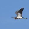 Tricolored Heron - 1/28/2018 - Famosa Slough