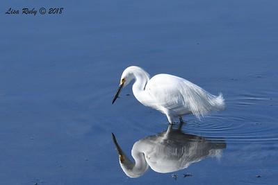 Snowy Egret  - 1/28/2018 - San Diego River estuary