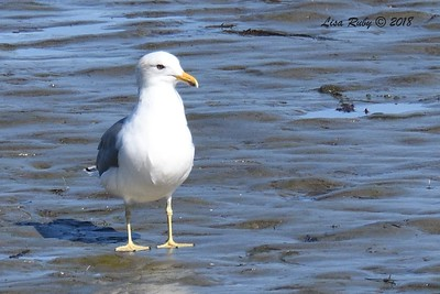 California Gull - 1/28/2018 - San Diego River tidal mudflats, Robb Field