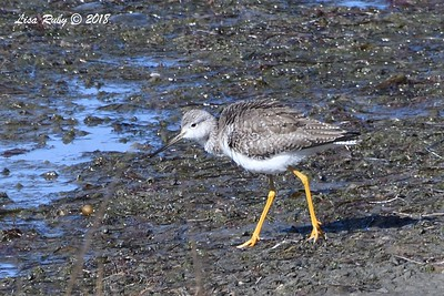 Greater Yellowlegs - 1/28/2018 - San Diego River tidal mudflats, Robb Field