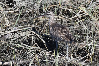 Whimbrel - 1/28/2018 - San Diego River tidal mudflats, Robb Field