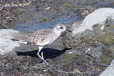 Black-bellied Plover - 1/28/2018 - San Diego River tidal mudflats, Robb Field