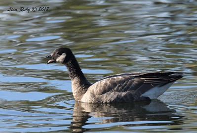 Cackling Goose  - 11/4/2018 - Santee Lakes