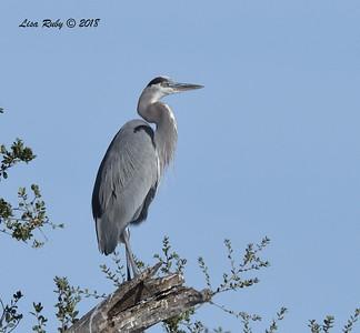 Great Blue Heron - 11/4/2018 - Santee Lakes