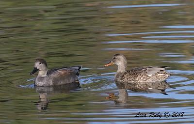 Gadwall pair  - 11/4/2018 - Santee Lakes