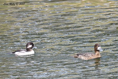 Bufflehead and Lesser Scaup  - 3/9/2018 - Santee Lakes