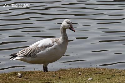 Snow Goose  - 3/9/2018 - Santee Lakes
