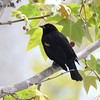 Red-winged Blackbird  - 3/9/2018 - Santee Lakes