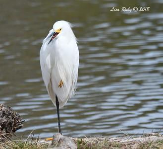 Snowy Egret  - 3/9/2018 - Santee Lakes