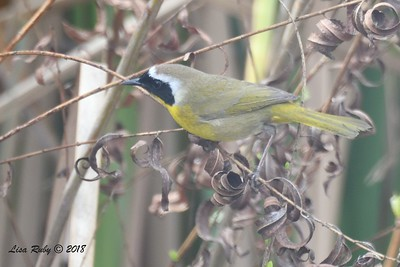 Common Yellowthroat  - 3/9/2018 - Santee Lakes