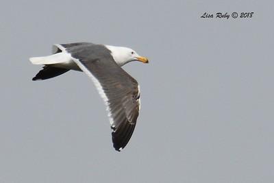Western Gull  - 3/9/2018 - Santee Lakes
