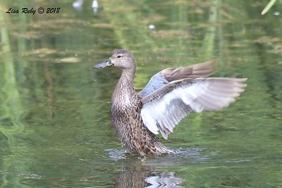 Blue-winged or Cinnamon Teal Female - 8/26/2018 - Santee Lakes, Lake 5