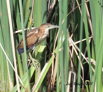 Least Bittern - 8/26/2018 - Santee Lakes, Lake 5