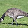 Cackling Goose - 2/4/2018 - J Street Marina