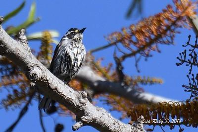 A wet Black-throated Gray Warbler  - 5/6/2018 - Tijuana River Valley Bird & Butterfly Garden