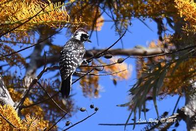 Nuttall's Woodpecker  - 5/6/2018 - Tijuana River Valley Bird & Butterfly Garden