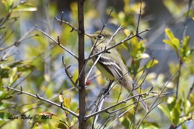Pacific-Slope Flycatcher - 5/6/2018 - Tijuana River Valley Bird and Butterfly Garden