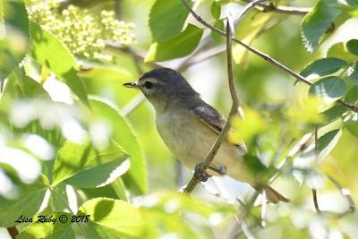 Warbling Vireo  - 5/6/2018 - Tijuana River Valley Bird and Butterfly Garden