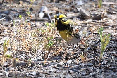 Townsend's Warbler  - 5/6/2018 - Tijuana River Valley Bird & Butterfly Garden
