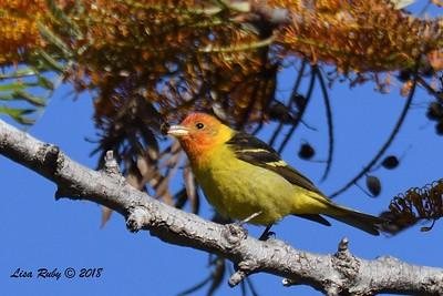 Western Tanager - 5/6/2018 - Tijuana River Valley Bird & Butterfly Garden