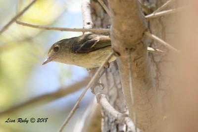 Hutton's Vireo  - 5/6/2018 - Tijuana River Valley Bird and Butterfly Garden