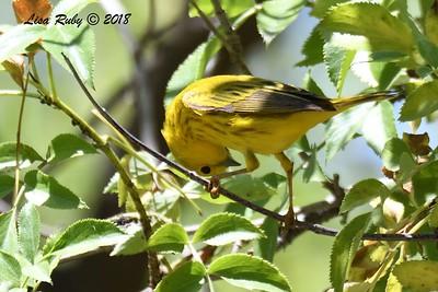 Yellow Warbler  - 5/6/2018 - Tijuana River Valley Bird and Butterfly Garden