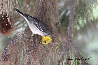 Hermit Warbler  - 5/6/2018 - Tijuana River Valley Bird and Butterfly Garden