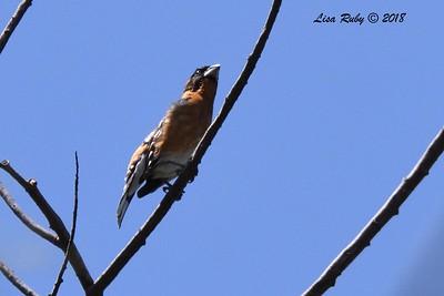 Black-headed Grosbeak  - 5/6/2018 - Tijuana River Valley Bird and Butterfly Garden