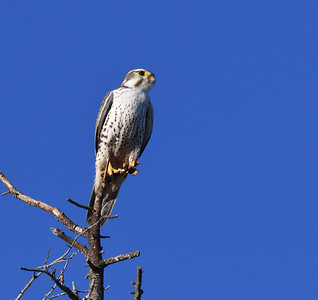 Prairie Falcon  - 2/16/2018 - Warner Springs Ranch Resort