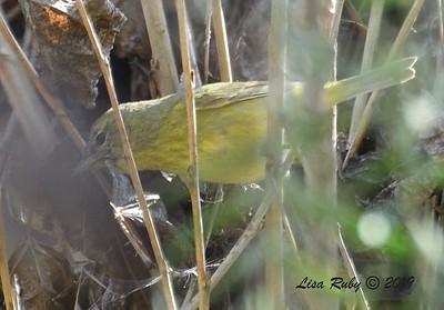 Orange-crowned Warbler  - 1/30/2019 - Poway Creek