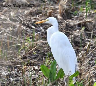 Great Egret  - 1/30/2019 - Poway Creek