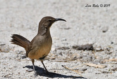 California Thrasher  - 4/13/2019 - Agua Caliente County Park Campground