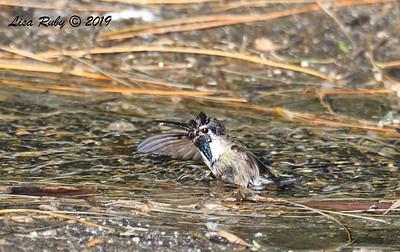 Costa's Hummingbird - 4/13/2019 - Agua Caliente County Park Campground