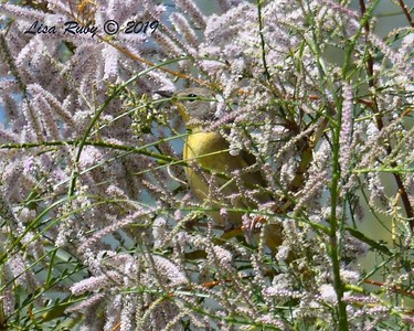 Common Yellowthroat  - 4/13/2019 - Agua Caliente County Park Nature Trail