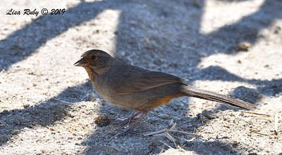 California Towhee  - 4/13/2019 - Vallecitos County Park