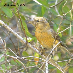 Red Crossbill #2, 10:10 am  - 9/1/2019 - Agua Dulce Creek, Mount Laguna