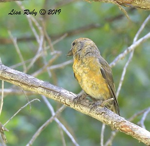 Red Crossbill #5?, 10:36 am  - 9/1/2019 - Agua Dulce Creek, Mount Laguna
