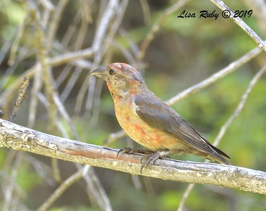 Red Crossbill #4 10:32 am  - 9/1/2019 - Agua Dulce Creek, Mount Laguna