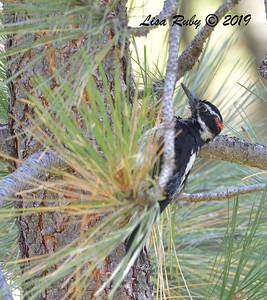 Hairy Woodpecker after bath  - 9/1/2019 - Agua Dulce Creek, Mount Laguna