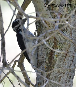 Hairy Woodpecker  - 9/1/2019 - Agua Dulce Creek, Mount Laguna