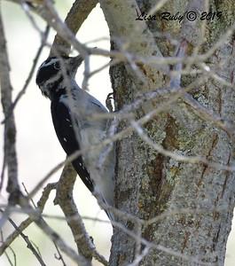 Hairy Woodpecker  - 9/1/2019 - Agua Dulce Creek, Mount Laguna